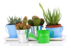 Cactus succulente in un secchio ed in un aloe del metallo Immagini Stock Libere da Diritti