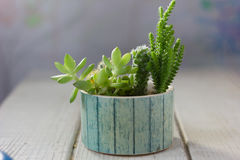 Cactus succulents in a ceramic pot. On white table Stock Photography