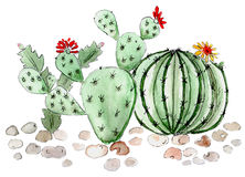 Cactus succulents illustration watercolor Royalty Free Stock Photography