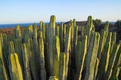 Cactus suculento de la planta en el seco Imagen de archivo