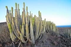 Cactus suculento de la planta en el seco Fotos de archivo libres de regalías