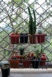 Cactus sul caso immagine stock