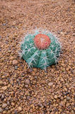 Cactus sulla terra Fotografia Stock Libera da Diritti