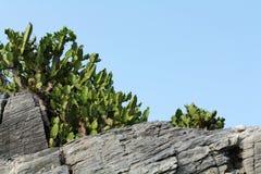 Cactus sulle rocce Immagine Stock