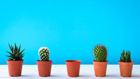 Cactus sullo scrittorio con le pareti blu dolci Immagini Stock