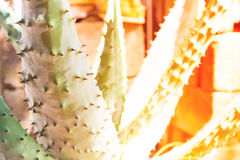 Cactus with summer sunset Stock Images