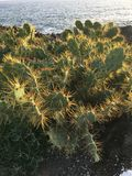 Cactus on a sunny day on Tenerife island royalty free stock image