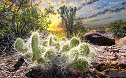 Cactus at Sunrise Stock Photography