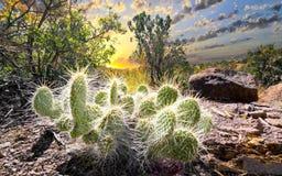 Cactus at Sunrise Stock Photography
