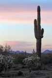 Cactus Sunset Royalty Free Stock Photo
