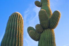 Cactus at Sunset, Arizona Desert Royalty Free Stock Photos