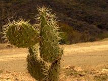 Cactus sur la route Photographie stock libre de droits