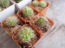 Cactus sur la table en bois Images libres de droits