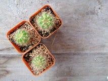 Cactus sur la table en bois Photographie stock
