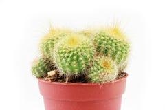 Cactus sur le blanc photos libres de droits