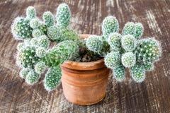 Cactus sur le fond en bois rayé images libres de droits
