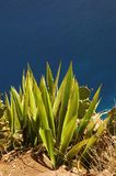 Cactus sur une falaise Photo stock