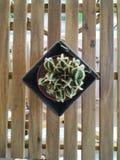 Cactus sur une table en bois de rayures photo libre de droits