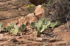 Cactus sur Zion Mount Carmel Highway image stock