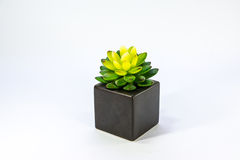Cactus sveglio Fotografia Stock