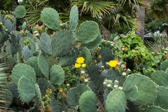 Cactus in Texas royalty-vrije stock afbeelding