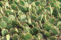Cactus texture Royalty Free Stock Images
