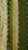 Cactus texture. Green and red cactus texture with needles Royalty Free Stock Images