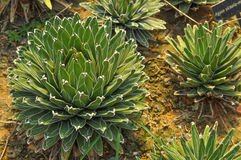Cactus in Thailand Stock Afbeeldingen