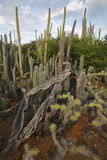 Cactus thicket including Candle Cactus Royalty Free Stock Photography