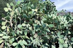 Cactus thicket of prickly pear Royalty Free Stock Photo