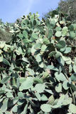 Cactus thicket of prickly pear Royalty Free Stock Photography