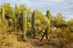 Cactus thickets in Saguaro National Park at sunset, southeastern Arizona, United States.  royalty free stock photography