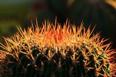 Cactus thorn Stock Photo