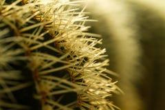 Cactus Thorn Close up III Stock Image
