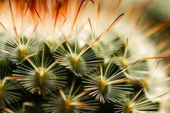 Cactus Thorn Extreme Close encima de III Fotografía de archivo