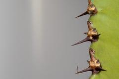 Cactus thorn macro detail Royalty Free Stock Image