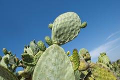 Cactus thorn macro detail Royalty Free Stock Images