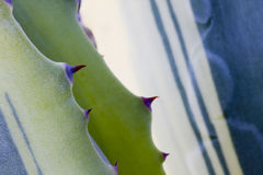 Cactus thorns Royalty Free Stock Photography