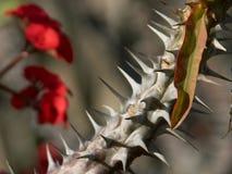 Cactus Thorns 2 Stock Image