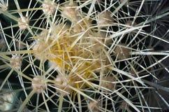 Cactus thorns Stock Image