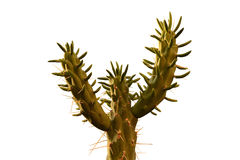 Cactus with thorns. Branches, danger Royalty Free Stock Photography