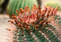 Cactus with thorns and flowers. Stock Images