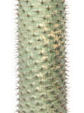 Cactus thorns isolated Stock Image