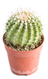 Cactus Thorns In Pot. Stock Images
