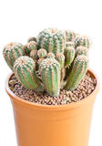 Cactus Thorns In Pot. Stock Image