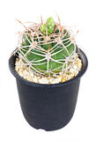 Cactus Thorns In Pot. Royalty Free Stock Photography