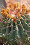 Cactus and thorns Royalty Free Stock Photos