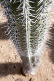 Cactus thorns Royalty Free Stock Photo