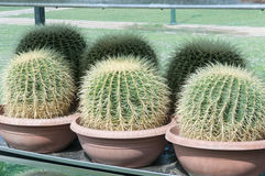 Cactus. Three barrel cactus, athens, greece Stock Image
