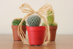 Cactus. Three cacti in pots with bow Stock Image